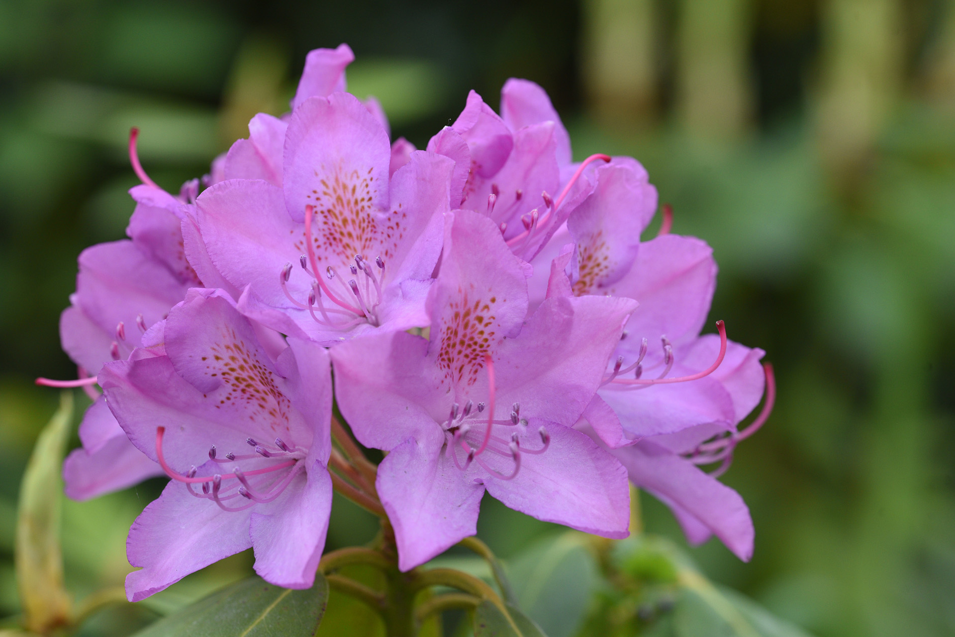 421-rododendron